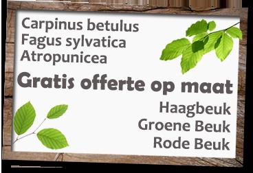 Haagbeuk carpinus betulus prijs